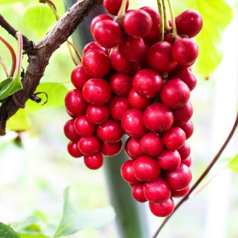 Chinesische Beerentraube Samen (Schisandra chinensis) 1.85 - 1