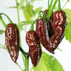 Fatalii Choco Chili Seeds 2.5 - 2
