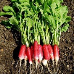 Cylindrical Radish Seeds Flamboyant 3 1.55 - 2
