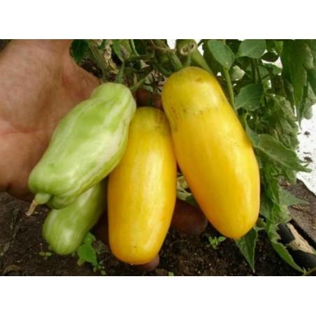 Banana Legs Tomato Seeds 1.85 - 3