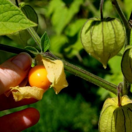 Graines Coqueret du Pérou (Physalis peruviana) 1.5 - 2