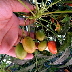 Kaffir Sljiva - Južnoafrička Sljiva Seme (Harpephillum caffrum) 3.95 - 2