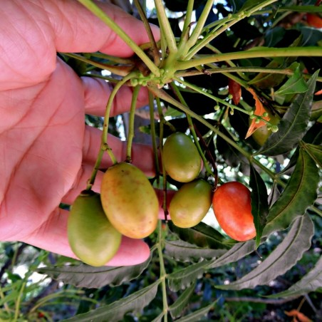 Kaffir Plum - South African Plum Seeds (Harpephyllum caffrum) 3.95 - 2