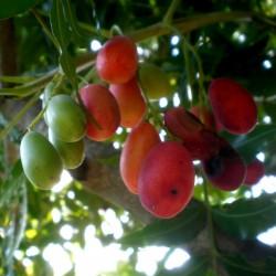 Sementes de Kaffir - Ameixa Sul Africana (Harpephyllum caffrum) 3.95 - 3
