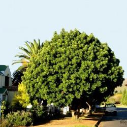 Sementes de Kaffir - Ameixa Sul Africana (Harpephyllum caffrum) 3.95 - 4