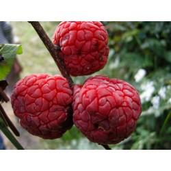 Seidenraupenbaum - Che Seeds (Maclura tricuspidata) 2.95 - 3