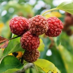 Seidenraupenbaum - Che Seeds (Maclura tricuspidata) 2.95 - 2