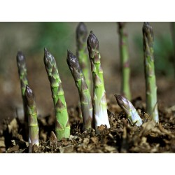 Asparagus officinalis Seeds ''Mary Washington'' 1.65 - 3