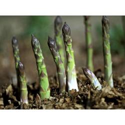 Graines d'asperge - Asparagus officinalis 1.65 - 3
