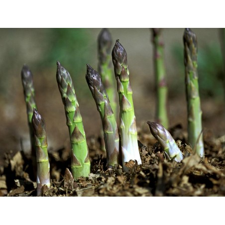 Asparagus officinalis Seeds ''Mary Washington'' 1.65 - 3
