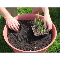 Graines d'asperge - Asparagus officinalis 1.65 - 4