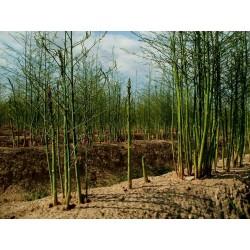 Graines d'asperge - Asparagus officinalis 1.65 - 5