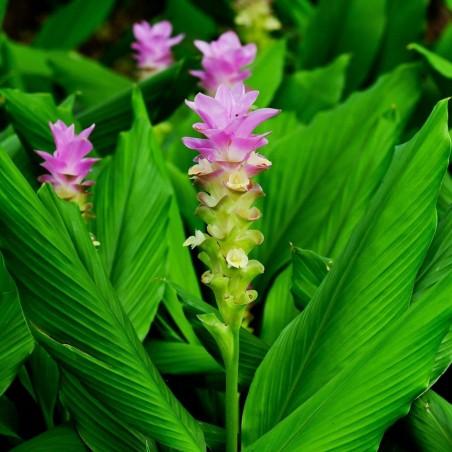 Kurkuma oder Kurkume Rhizome (Curcuma longa) 7.95 - 2