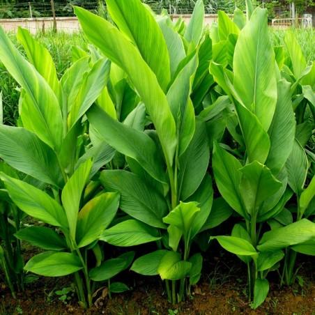 Κουρκουμάς, ή Κουρκούμη Ρίζωμα (Curcuma longa) 7.95 - 3