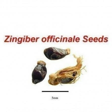 Ingwer Samen (Zingiber officinale) 8.55 - 3