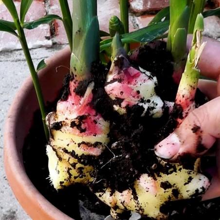Ginger Tubers - Rhizomes (Zingiber officinale) 8.55 - 2