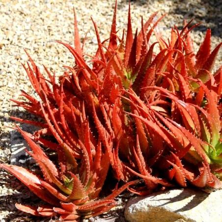 RED ALOE Samen (Aloe Cameronii) 4 - 1