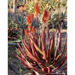 RED ALOE Seeds (Aloe Cameronii) 4 - 3