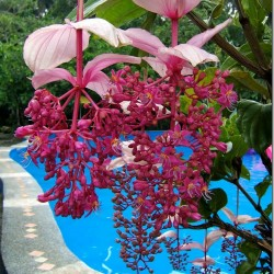 Showy Medinilla or Rose Grape Seeds (Medinilla magnifica) 3.9 - 2