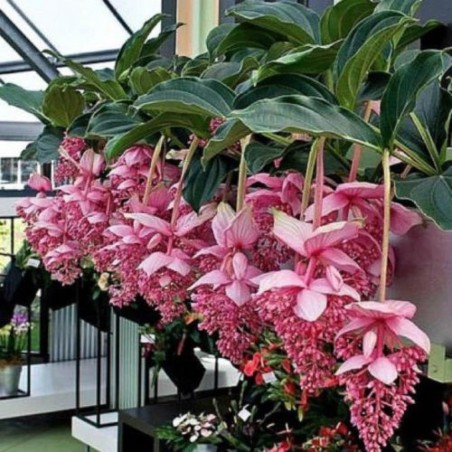Showy Medinilla or Rose Grape Seeds (Medinilla magnifica) 3.9 - 8