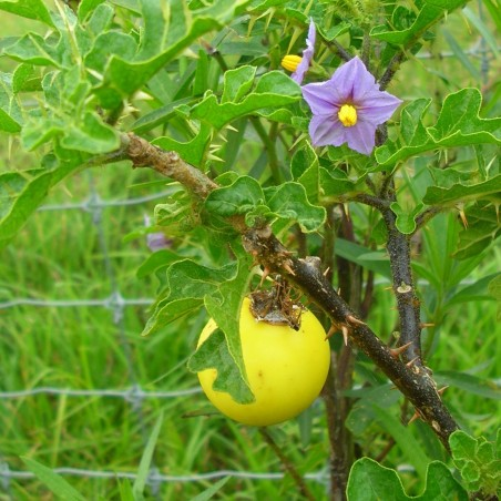 Devils Apple Fruit of Sodom Seeds (Solanum linnaeanum) 1.45 - 3