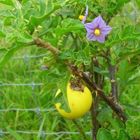 Sodomsapfel Samen (Solanum linnaeanum) 1.45 - 3