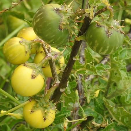 Sodomsapfel Samen (Solanum linnaeanum) 1.45 - 7