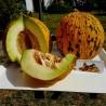 Semillas de melon CABEZA DE ORO o MELÓN TRACIA - Mejor Melón griega