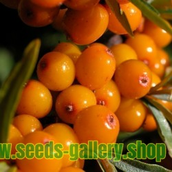Semi di olivello o olivello spinoso (hippophae rhamnoides)