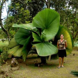 Ruffled fan Palm Seeds  (Licuala  grandis) 3.8 - 1