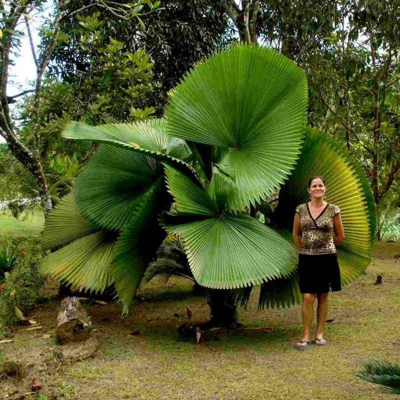 Ruffled fan Palm Seeds  (Licuala  grandis) 3.8 - 1