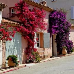 Бугенвиллия, Бумажный Цветок Фиолетовые и Красные Семена 1.95 - 2