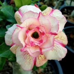 "Bonsai Wüstenrose Samen ""Angle"" 1.95 - 1"