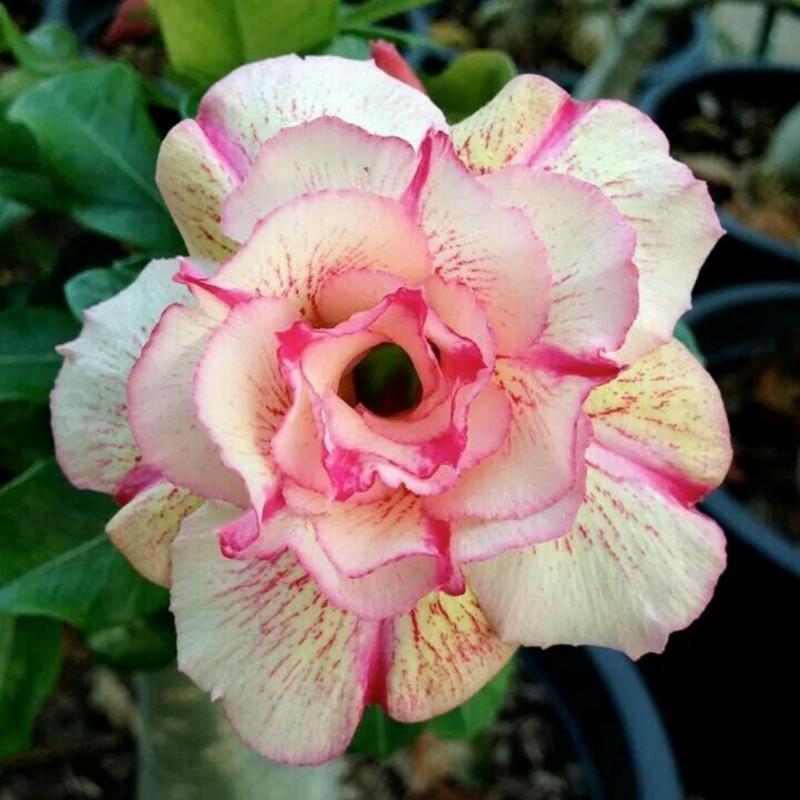 """Роза Пустыни, Импальская Лилия """"Angle"""" 1.95 - 1"""
