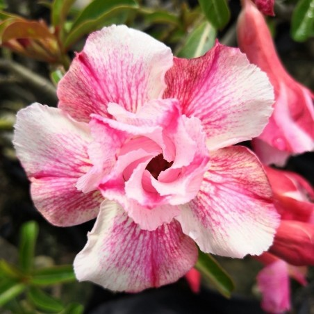 "Bonsai Wüstenrose Samen ""Angle"" 1.95 - 2"