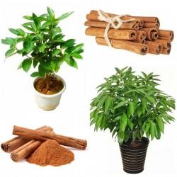 Sementes de Canela (Cinnamomum camphora) 4.95 - 2