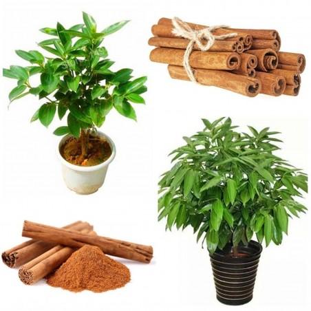 Zimt Samen – Kampferbaum (Cinnamomum camphora) 4.95 - 2