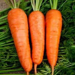 Graines de carotte Flakkee 2.049999 - 1