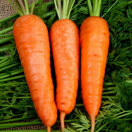 Carrot Flakkee Seeds 2.049999 - 1