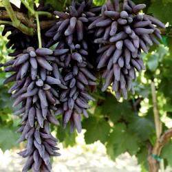 Sementes De Uvas Dedo De Bruxa 2.5 - 2