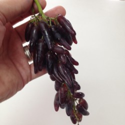 Sementes De Uvas Dedo De Bruxa 2.5 - 4