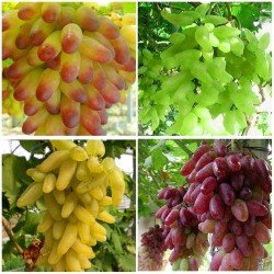 Finger Grape Seeds 2.25 - 1