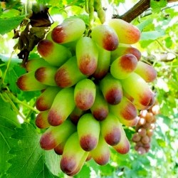 Finger Grape Seeds 2.25 - 2