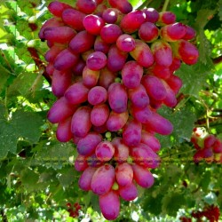 Finger Grape Seeds 2.25 - 8