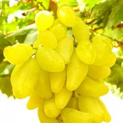 Semillas De Uvas Dedo 2.25 - 4