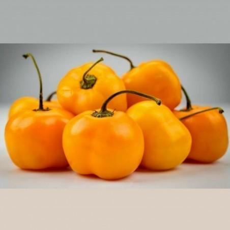 """Jelena"" Zuti Slatki Chili Seme - Veliki Plodovi 1.75 - 1"