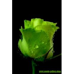 Grön Rose Frön