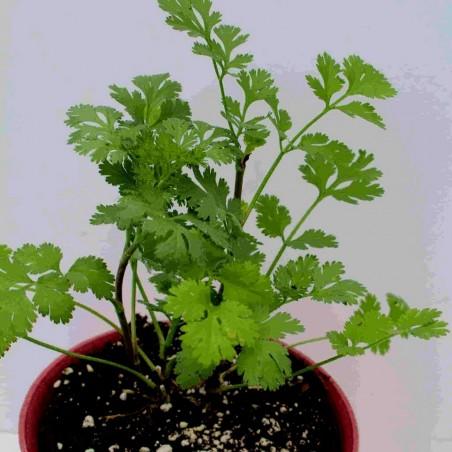 Sementes de Ervas Coentro (Coriandrum Sativum) 1.949999 - 2