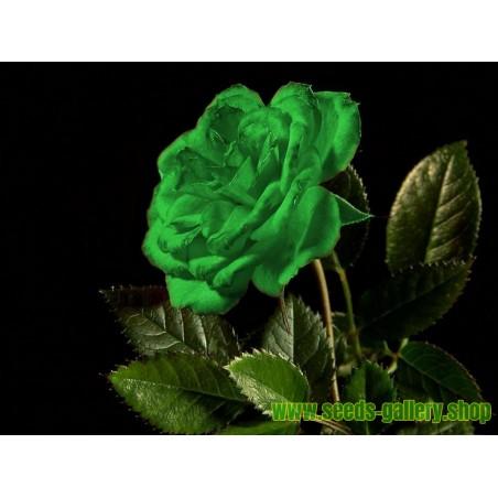 Semillas Rosa Verde