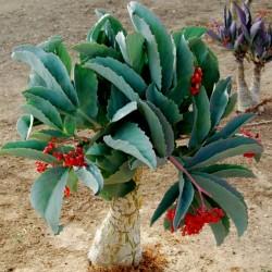 Mammillaria luethyi we 2,5cm Ariocarpus Kaktus Kakteen Astrophytum